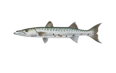 barracuda small