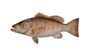 cubera snapper small
