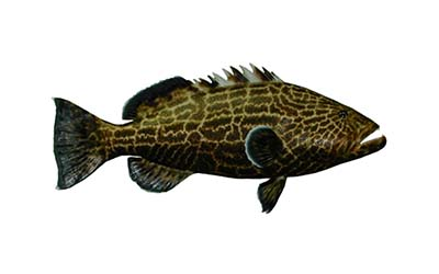 grouper small