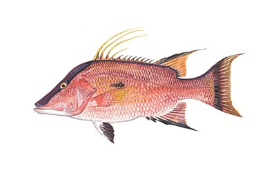 hogfish small