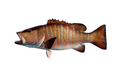 mangrove snapper small
