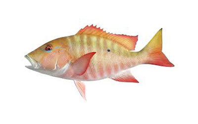 mutton snapper small