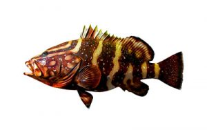 nassau grouper small