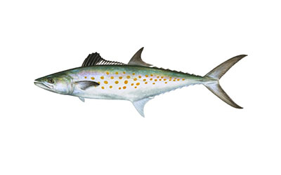 spanish mackerel small
