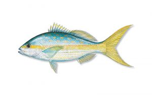 yellowtail snapper small
